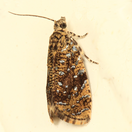 The Astronomer Moth - Olethreutes astrologana