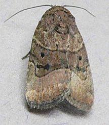 Small moth - Elaphria fuscimacula