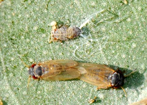 Psyllid? - Ctenarytaina eucalypti