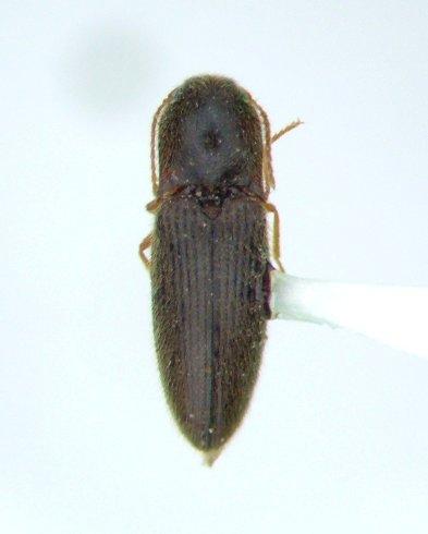 Glyphonyx 05 - Glyphonyx kulashi