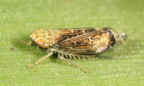 Latalus sp? - Errastunus ocellaris