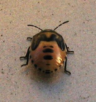 Stinkbug nymph - Cosmopepla lintneriana