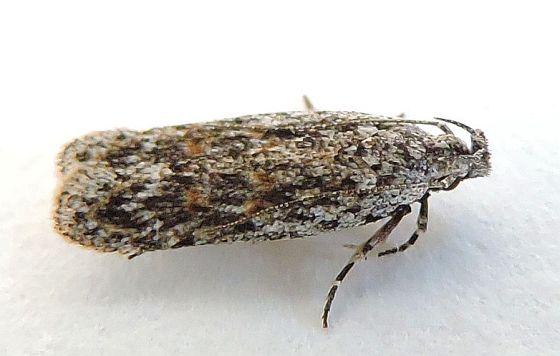 Arizona Moth for ID