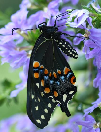 Black Swallowtail Emerging - Papilio polyxenes - female