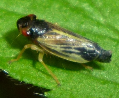 Evacanthus - Evacanthus acuminatus