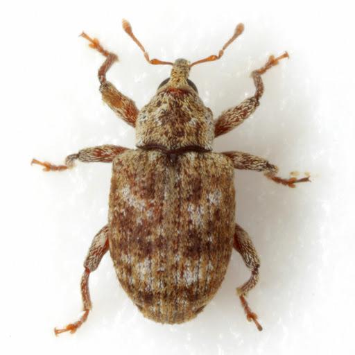 Conotrachelus recessus (Casey) - Conotrachelus recessus