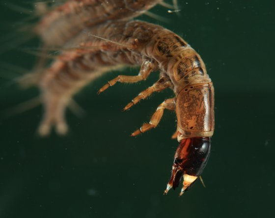 Fishfly larva chauliodes rastricornis bugguide net for Fish 2 flirt