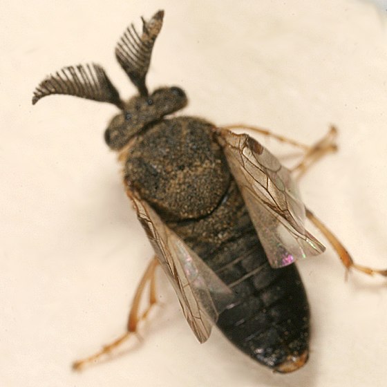 Introduced Pine Sawfly - Diprion similis - male