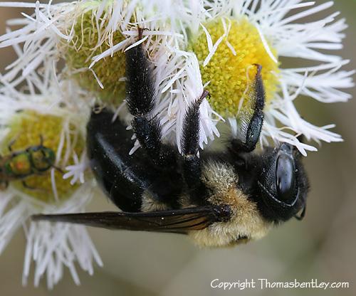 Bumblebee - Xylocopa virginica - female