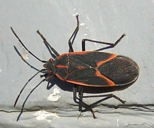 Maple Bugs  - Boisea trivittata