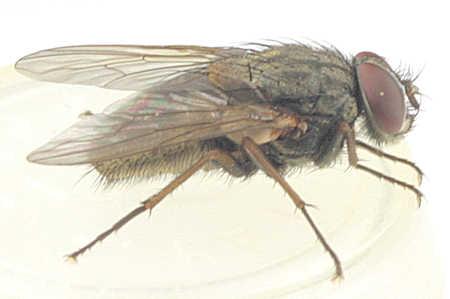 Muscina stabulans - false stable fly? - Muscina stabulans - male