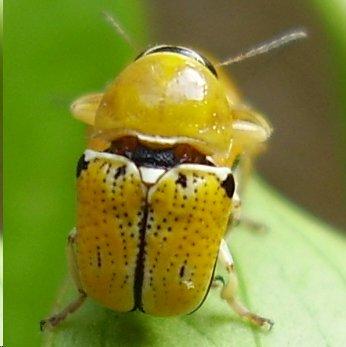 Beetle - Griburius larvatus - male - female
