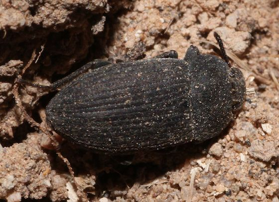 Small Black Beetle - Blapstinus