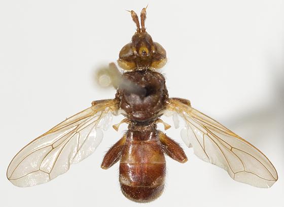 Thick-headed Fly - Myopa clausa