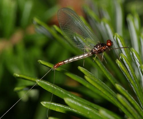 Mayfly - Paraleptophlebia - male