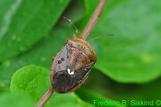 Unknown stink bug I think - Ascra bifida