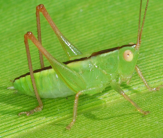 katydid or grasshopper?