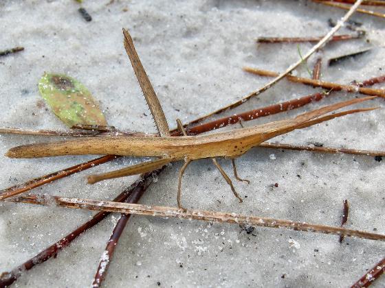 conehead? - Achurum carinatum - female
