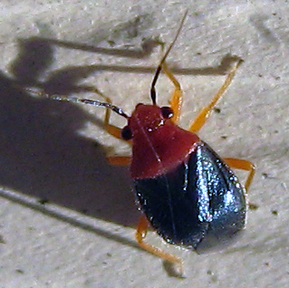 Yucca plant bug - Halticotoma valida