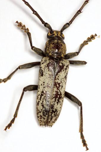 Enaphalodes niveitectus (Schaeffer) - Enaphalodes niveitectus