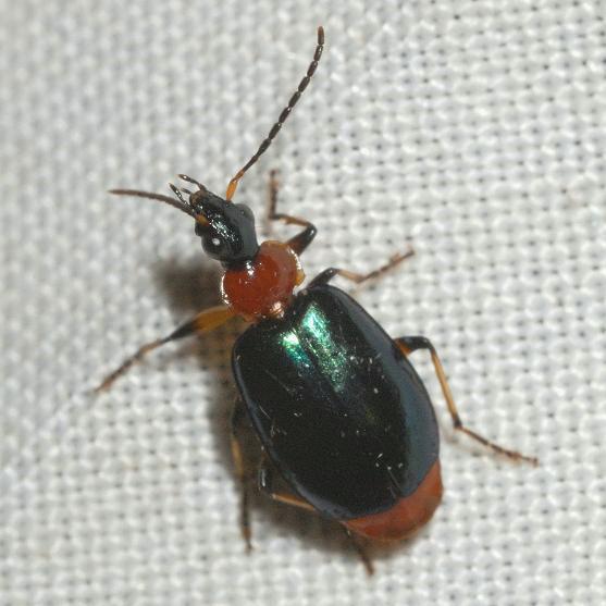 Lebia viridipennis Dejean - Lebia viridipennis