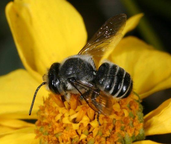 Megachile species a - Megachile