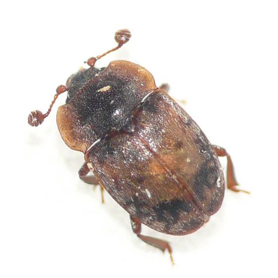 Sap-feeding beetle - Omosita discoidea