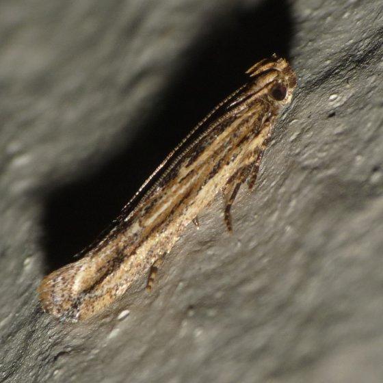 Moth - Symmetrischema striatella
