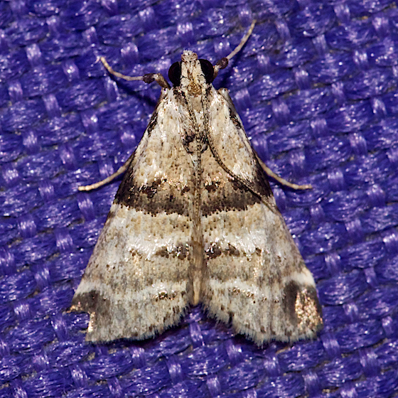 Watson's Tallula Moth - Hodges#5592 - Tallula watsoni - female