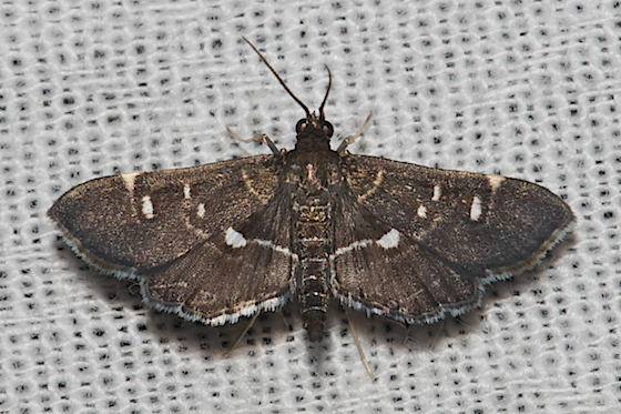 Hodges#5175 - Diathrausta harlequinalis