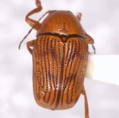 Cryptocephalus vapidus R. White - Cryptocephalus vapidus
