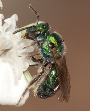 Late winter halictid - Augochlorella