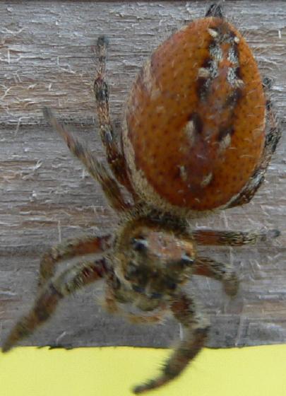 Phidippus clarus - female