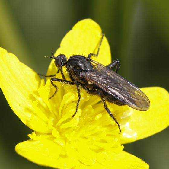 Rhamphomyia species? - Rhamphomyia