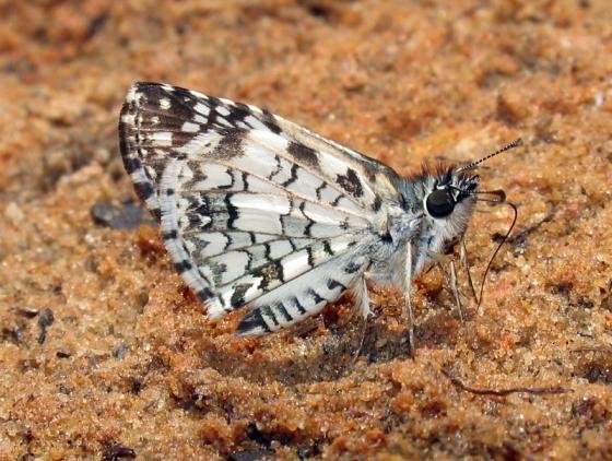 Tropical Checkered Skipper - Pyrgus oileus - Pyrgus oileus - male