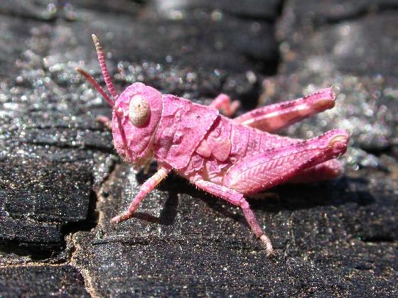 Pink Grasshopper - Trimerotropis fontana - male