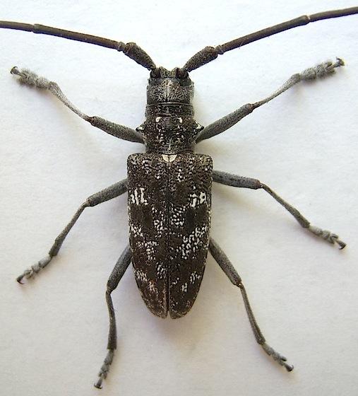 Spotted Pine Sawyer - Monochamus scutellatus - male