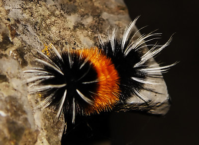 Lophocampa maculata (Spotted Tussock Moth) - Lophocampa maculata