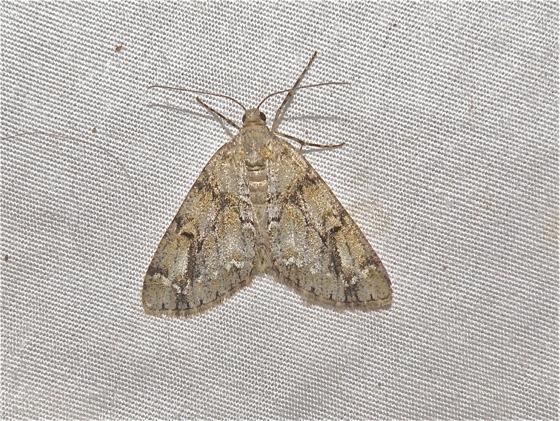 Moth - Vinemina opacaria - female
