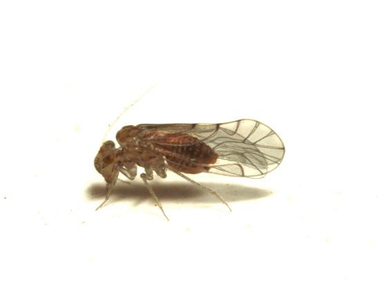 Lachesilla tropica  - Lachesilla tropica - female