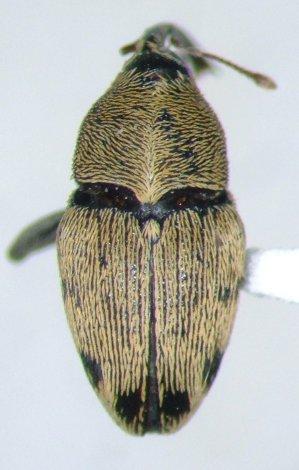 Geraeus penicillus