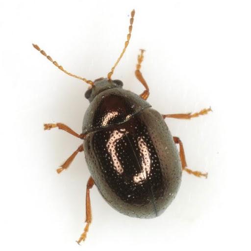Spintherophyta globosa (Olivier) - Spintherophyta globosa