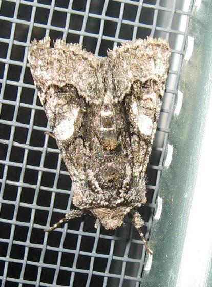 Noctuidae 01 - Behrensia conchiformis