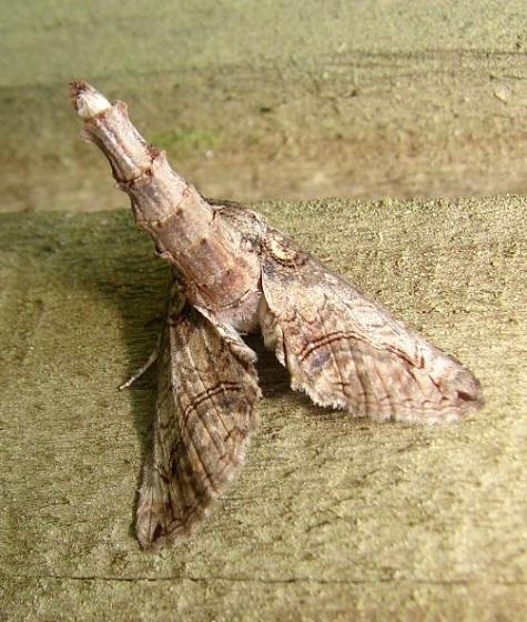 Moth - Paectes