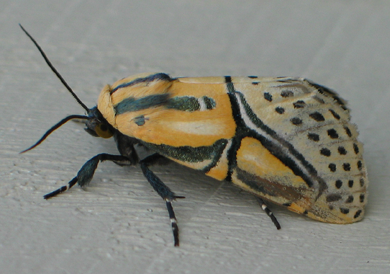 Hieroglyphic Moth - Diphthera festiva