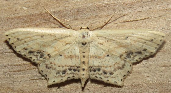 Scopula cacuminaria - Frosted Tan Wave Moth - Hodges#7157 - Scopula cacuminaria