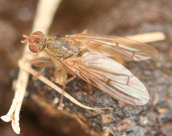Dung Fly - Scathophaga furcata