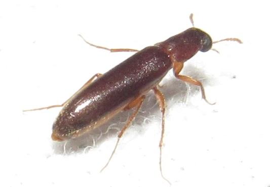Beetle - Melittomma sericeum