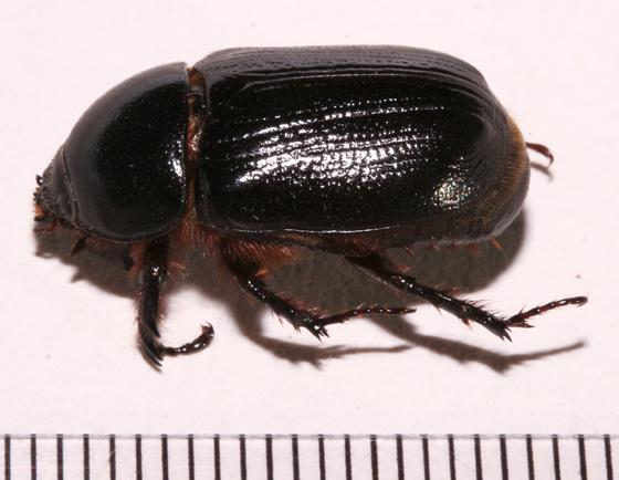 Scarabaeidae  - Tomarus relictus