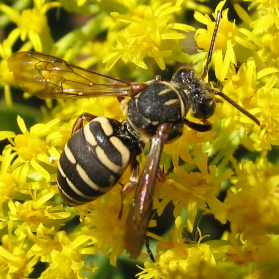 cuckoo bee - Triepeolus - female